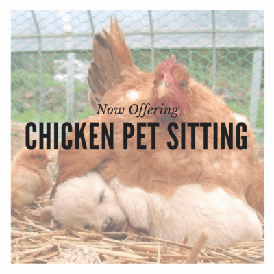 Chicken Pet Sitting San Diego